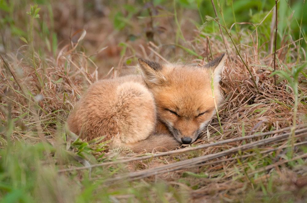 Red Fox Kit - Sleeping #1