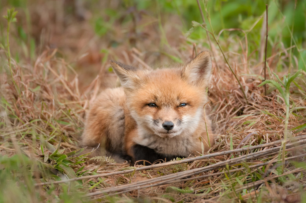 Red Fox Kit - Watching You