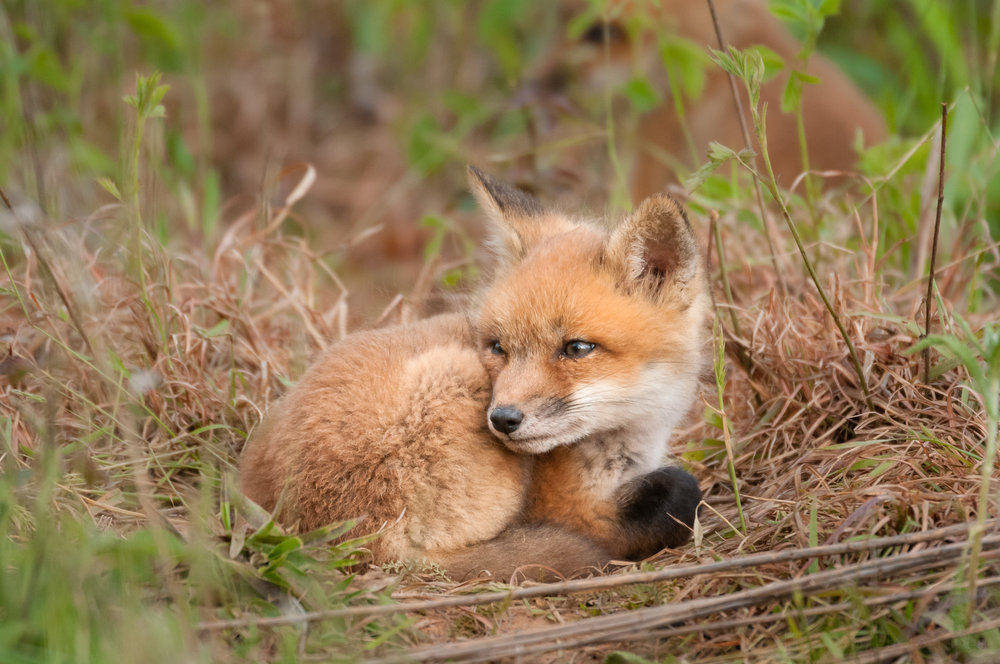 Red Fox Kit - Watchful #2