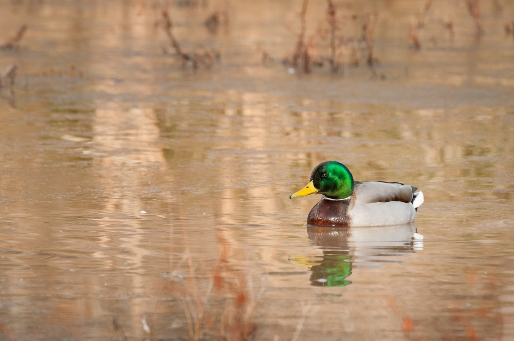 A lone mallard swimming in the wetlands.