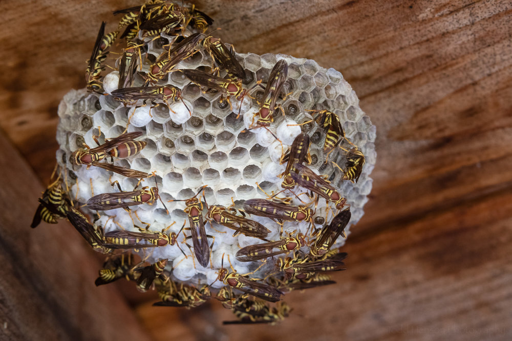 Another paper wasp nest in the same shelter.