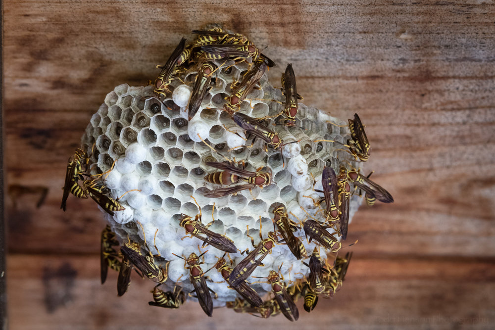 Paper wasps are very busy creatures.