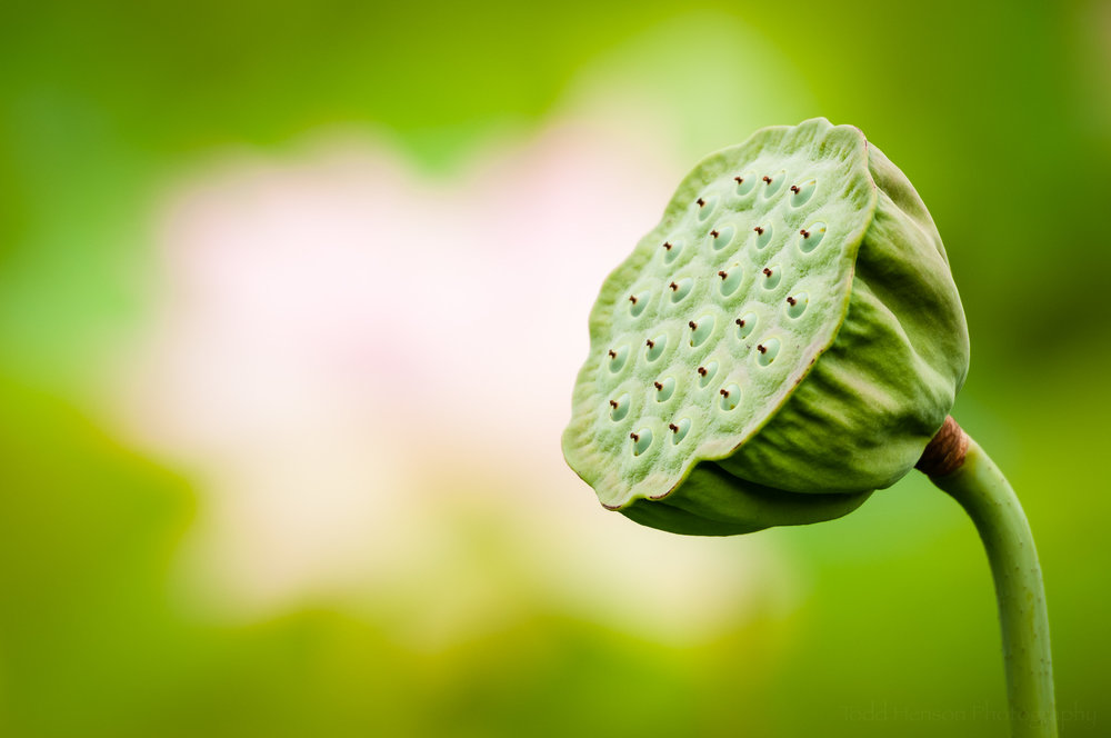 A large lotus seed pod, not yet opened.