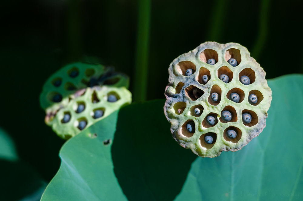 Opened lotus seed pods.
