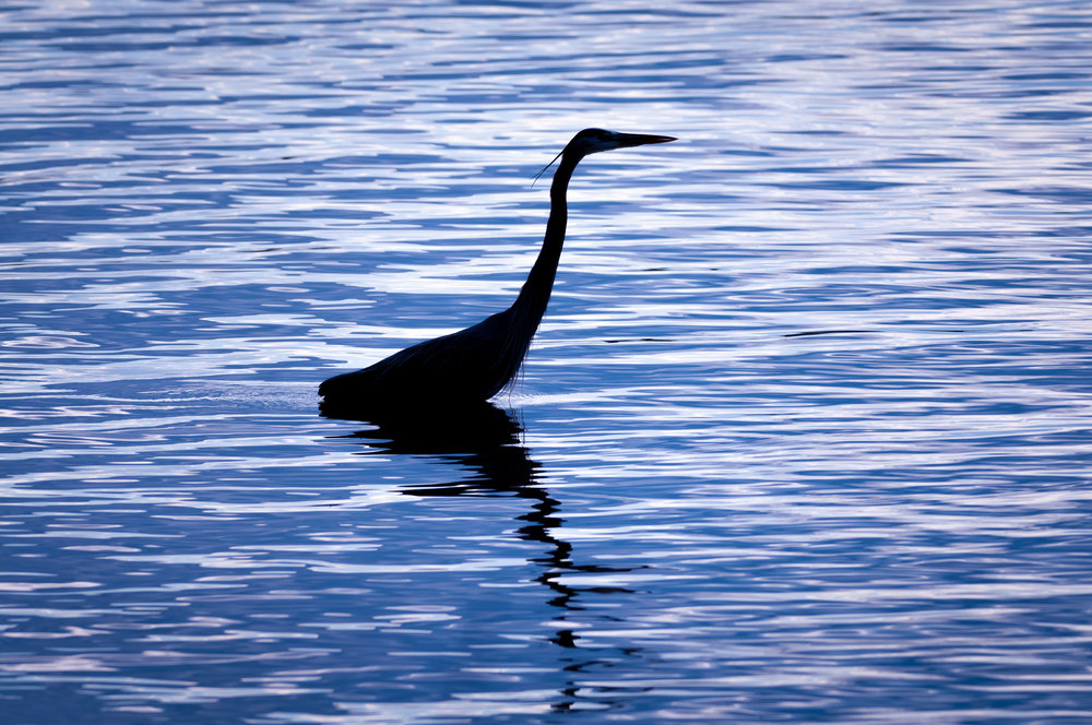 Great Blue Heron in Silhouette