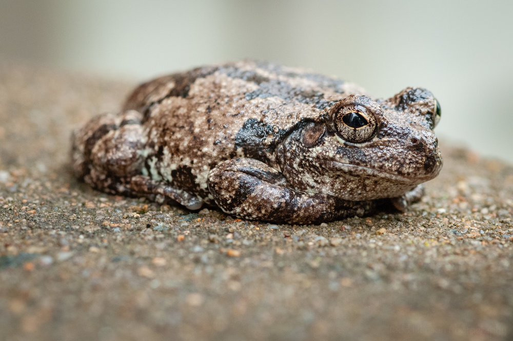 The gray treefrog has turned its eye to the camera.
