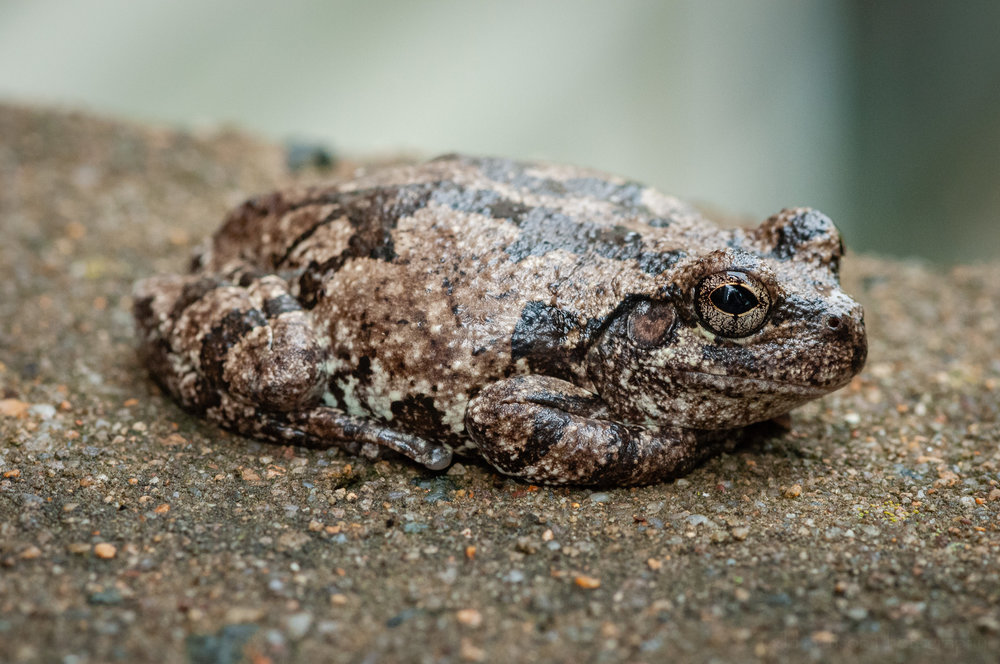 This gray treefrog never had a problem with me up close photographing it.