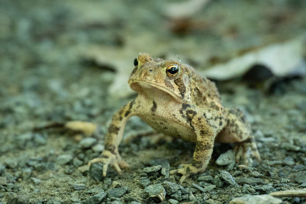 Front angled view of an eastern American toad