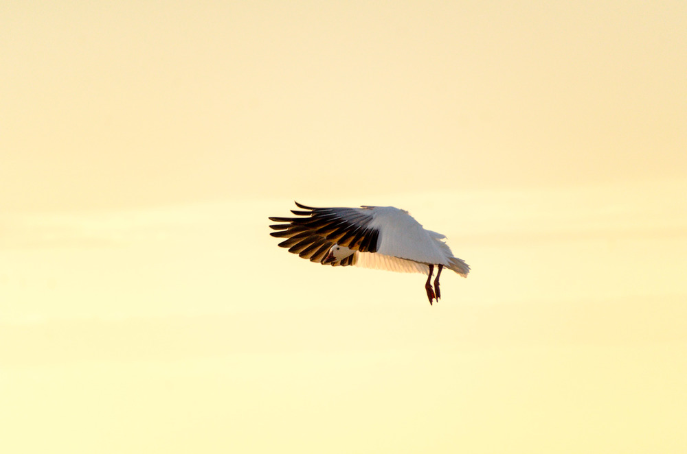 Snow goose landing at Chincoteague National Wildlife Refuse