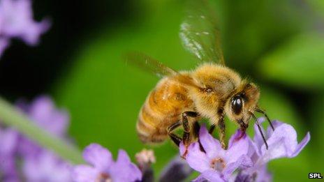 _68129783_c0065803-honeybee-spl.jpg