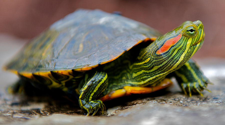 "The red-eared slider turtle is a popular species for pets, but the American Tortoise Rescue is urging parents not to buy live turtles for their kids after seeing the latest ""Teenage Mutant Ninja Turtles"" movie."