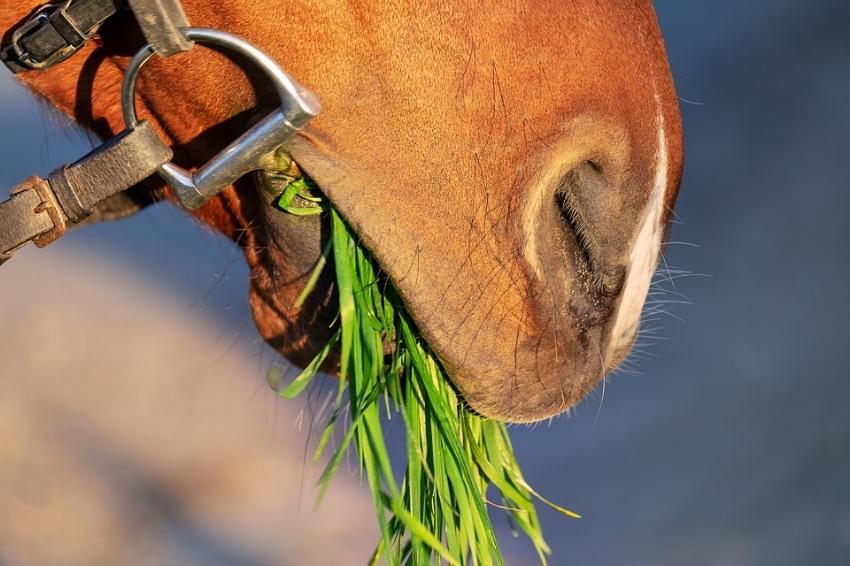horse-snout