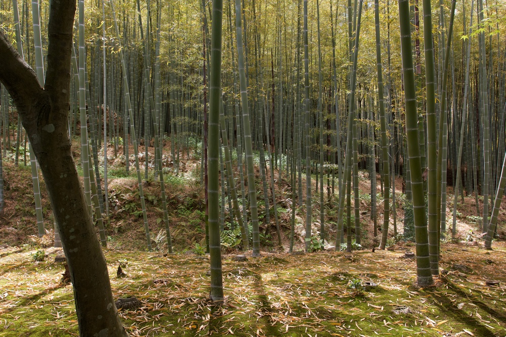 Bamboo Grove, Kyoto.jpg