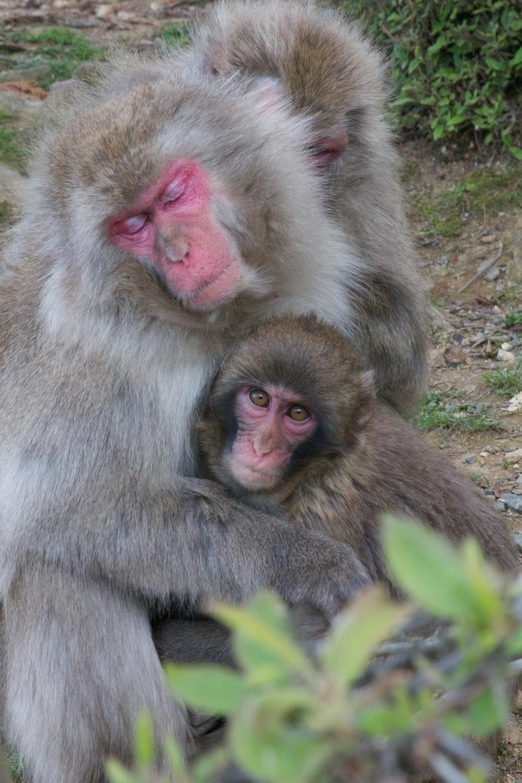 Iwatayama Monkey Park, Kyoto (3).jpg