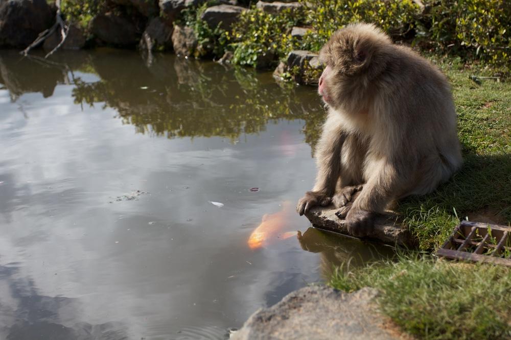 Iwatayama Monkey Park, Kyoto.jpg