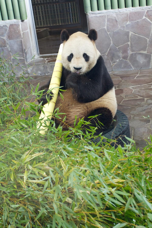 Pandas, Kobe Zoo (1).jpg