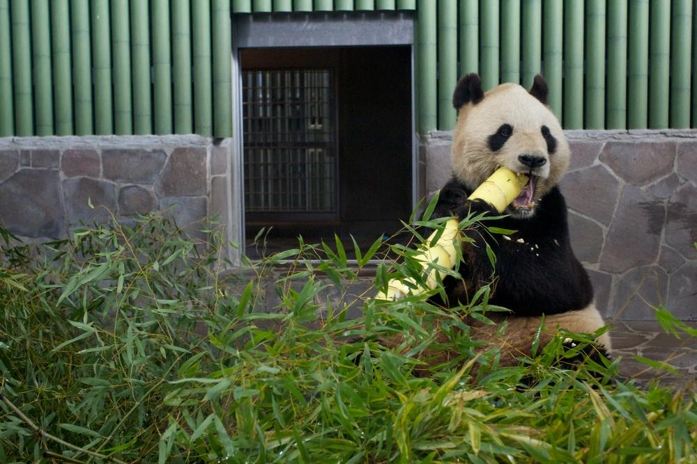 Pandas, Kobe Zoo (3).jpg