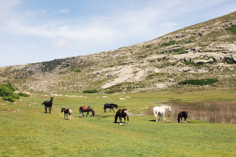 chevaux-corsica-ninu.jpg
