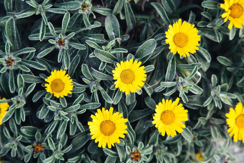 Bonifacio fleurs sentier diu grossu.jpg