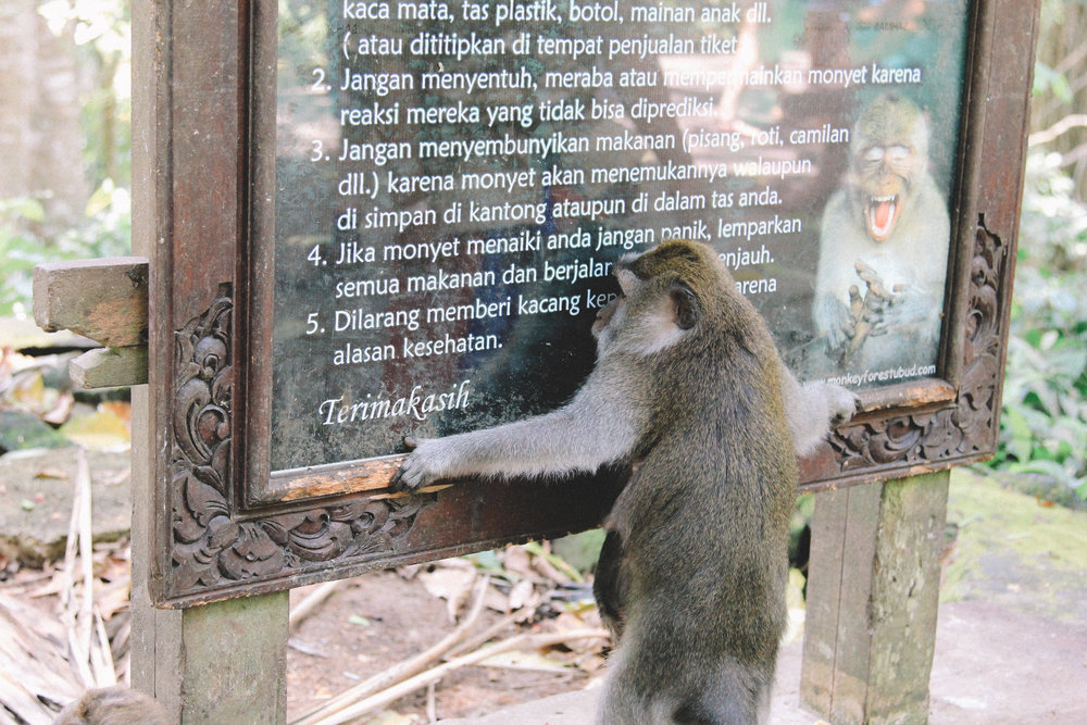 monkey-forest-sécurité-bali.jpg
