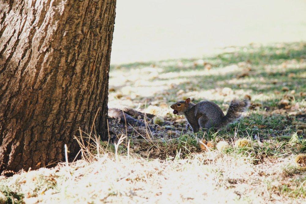 kensington-gardens-ecureuil-londres.JPG