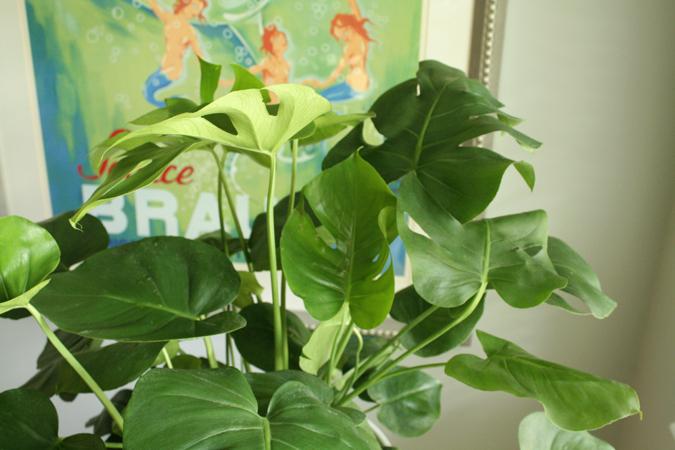 split leaf philodendron 1