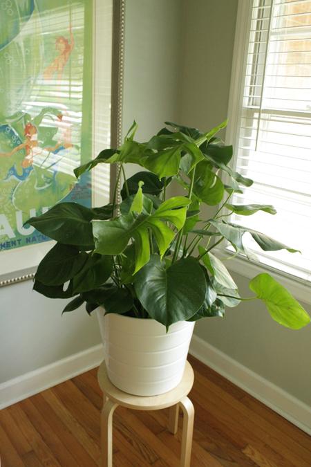 split leaf philodendron 2