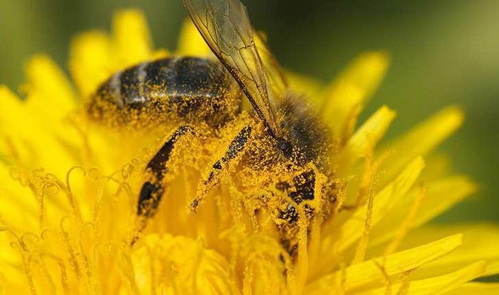 L'abeille européenne est la première représentante des insectes pollinisateurs.  Crédit photo : JR-Guillaumin - Flickr
