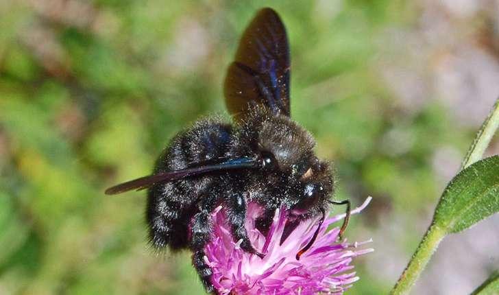 Le  xylocope (abeille charpentière)  est la plus grosse abeille solitaire française. Crédit : Ettore Balocchi, Flickr