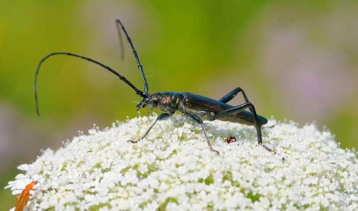 Le    grand capricorne    est un coléoptère, et l'un des plus grands insectes de France !