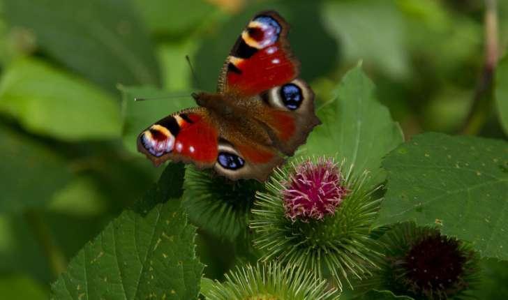 Le  paon du jour  est l'une des espèces de papillons les plus communes,          et c'est aussi un pollinisateur ! Crédit : Bernard Deman