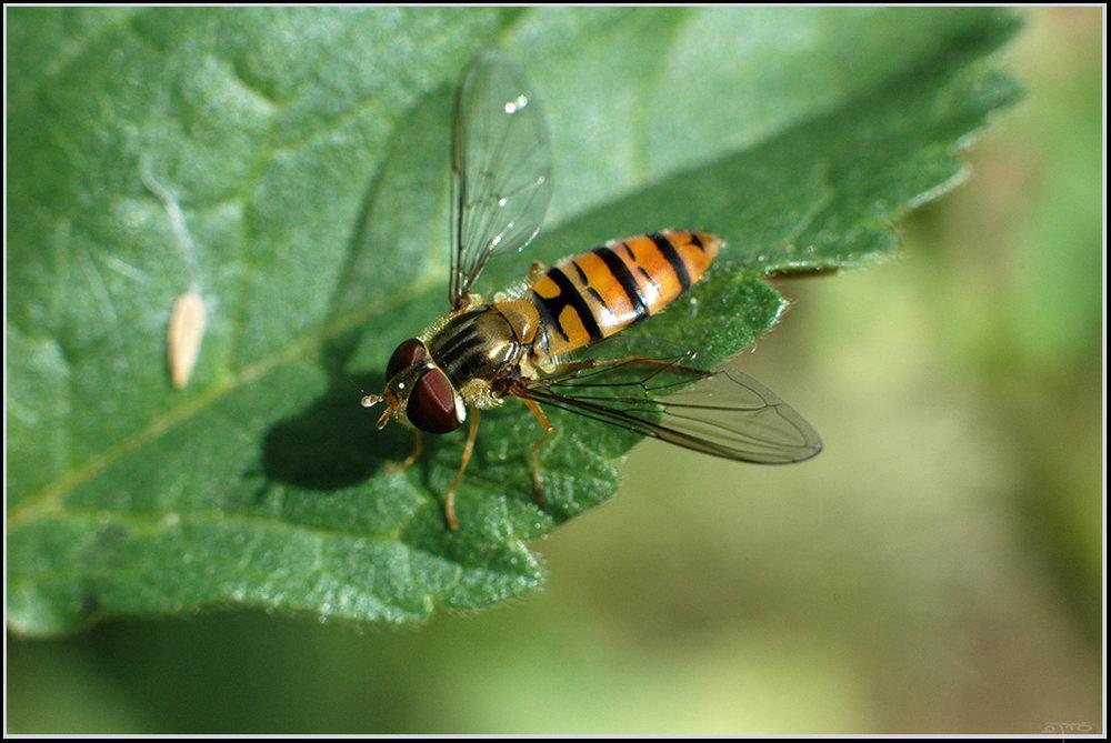 Comme beaucoup d'autres, le syrphe ceinturé a les couleurs d'une guêpe !        Crédit : Eran Finkle, Flickr
