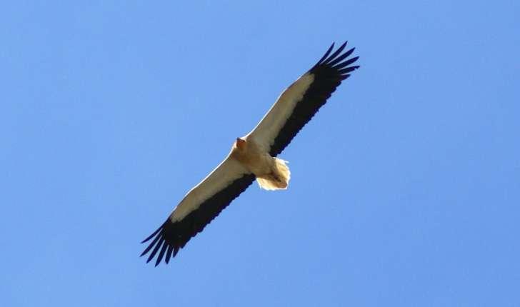 vautour-percnoptere.jpg