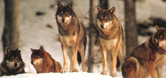 The Apennine wolf