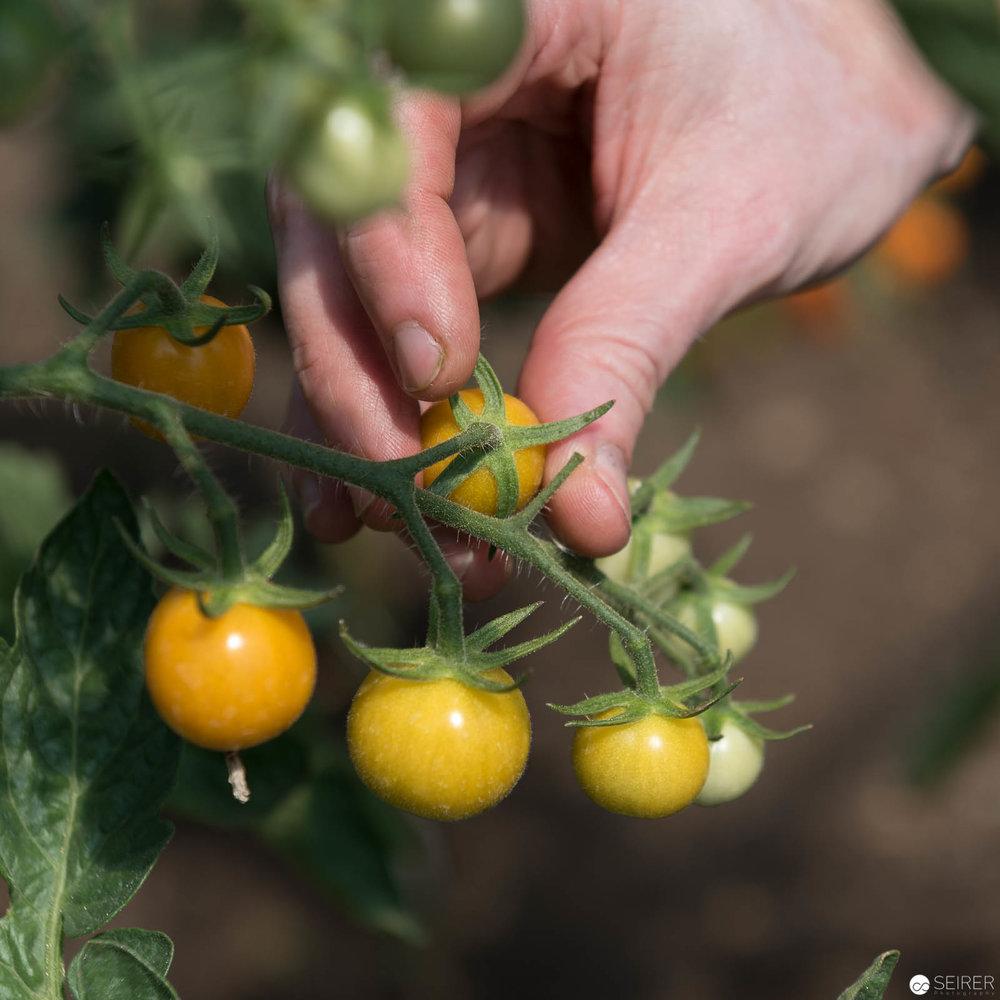 Eine der hunderten Sorten von Tomaten bei Erich Stekovics