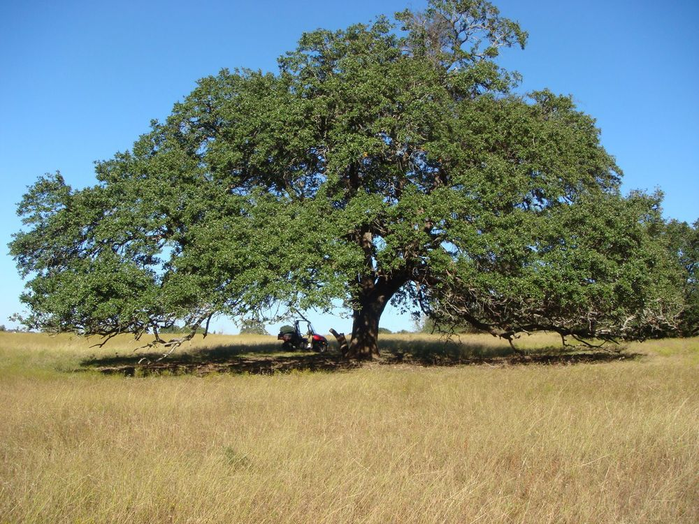 Live Oak 1 after .jpeg