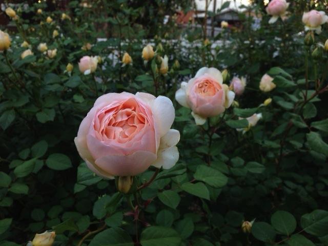 Talking Adelaide's spring roses.