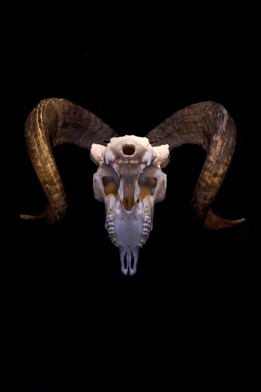 ram_skull_forweb.jpg