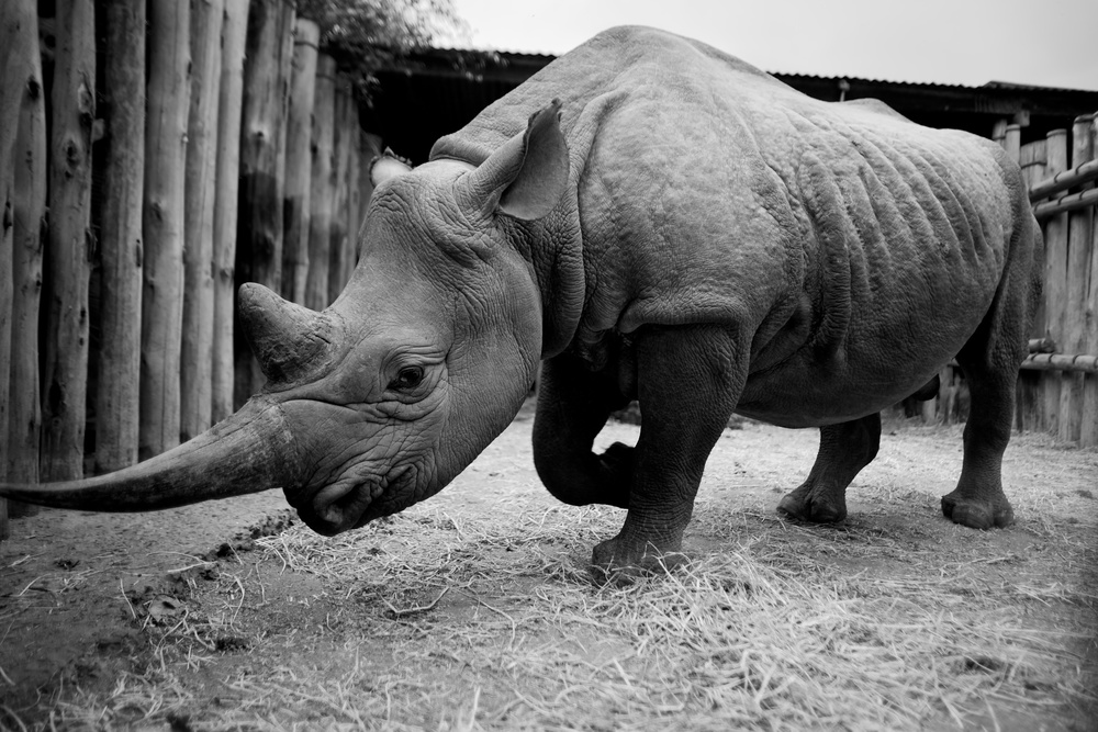 Solio, a female black rhino, rests in her pen at The David Sheldrick Wildlife Trust outside of Nairobi, Kenya. Solio, named for the region where she was rescued, was orphaned by poachers as a six-month-old. In 1970, at least 20,000 black rhinos lived in Kenya. Today, poaching and environmental pressures have cut the number down to 540.