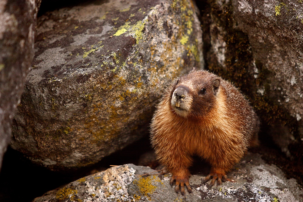 A yellow-bellied marmot pokes his head out of his rock home to have a look around. (Sequoia National Park, Calif.)
