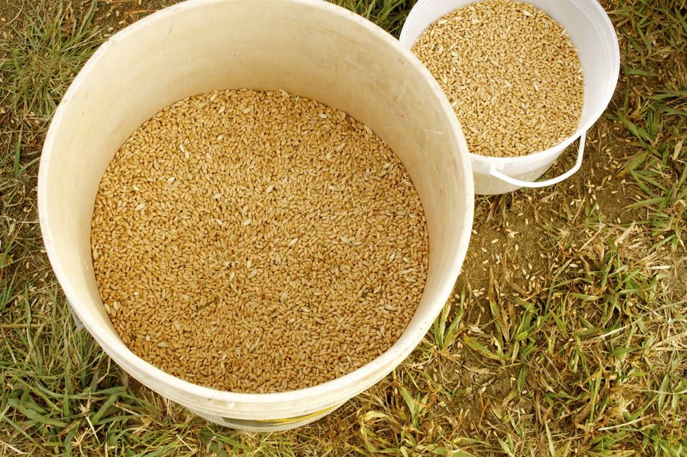 Wheat Berries Just Harvested.jpg
