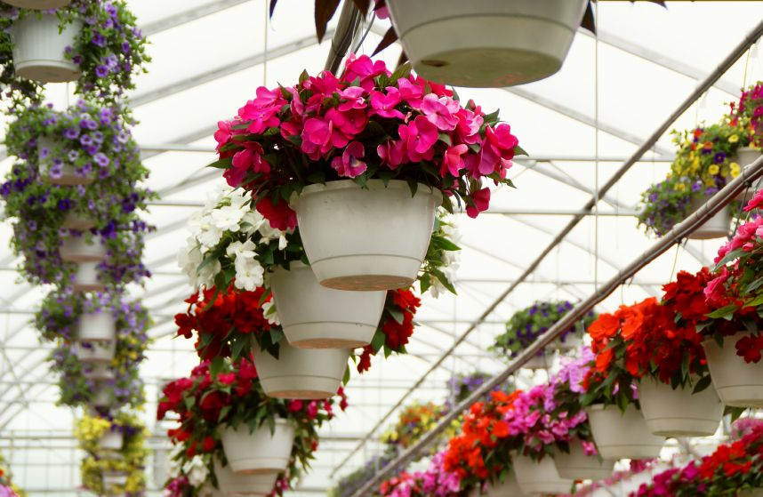 "Lush 11"" hanging baskets. Locally grown. Healthy and hearty greenhouse stock. Four varieties: New Guinea Impatiens, Fuschia, Petunia, and Ivy Geranium. Competitively priced at $20 per basket (grower says many area garden centers sell these same baskets for $25 or more). Great summer flower baskets for your home. FANTASTIC MOTHER'S DAY GIFTS! (Flowers will be ready for pick-up at Eastridge Stadium on May 10 -- the Thursday BEFORE Mother's Day.)"
