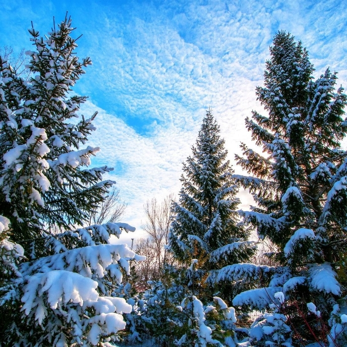 sky-cloud-evergreen-tree-winter-snow.jpg