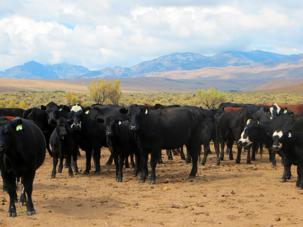 Cottonwood Herd.jpg