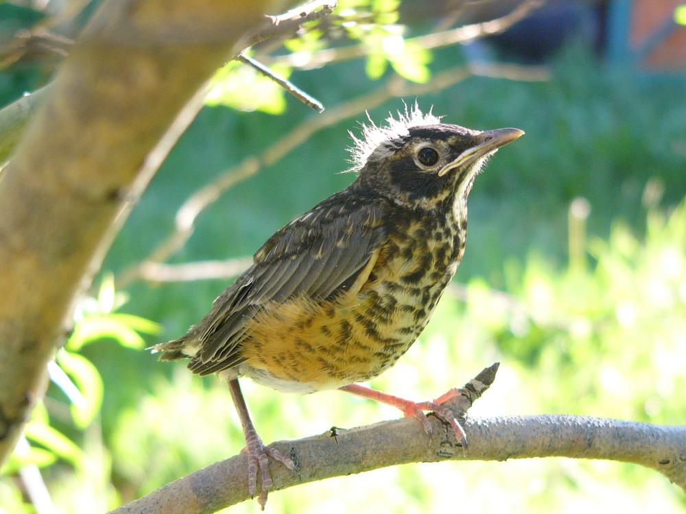 bca P1010032 Am Robin baby.jpg