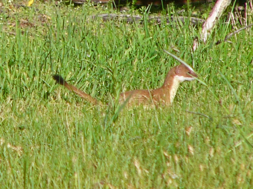 a P1010194 Long-tailed Weasel.jpg
