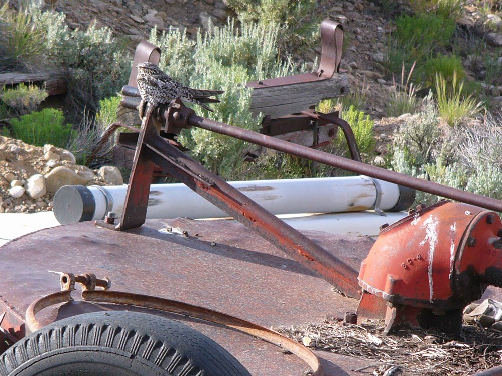 bcn P1010270 Common Nighthawk on tractor.jpg