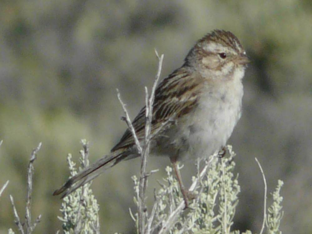 bs P1110512 Brewers Sparrow.jpg