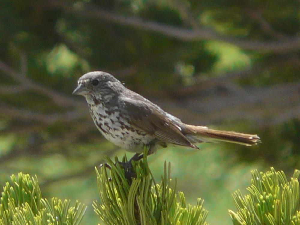 bh P1110854 Slaty Fox Sparrow.jpg