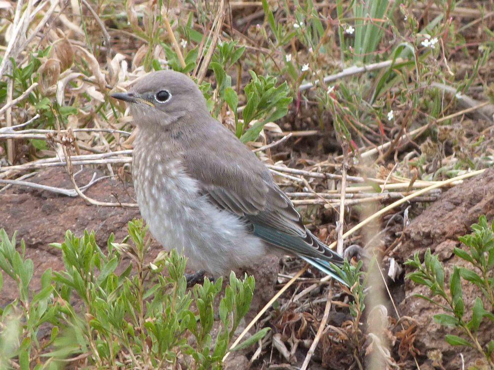 bhb P1060635 Mt Bluebird baby.jpg